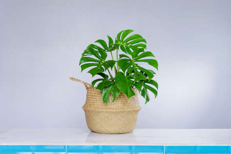 Philodendron in wicker baskets on gray wall.