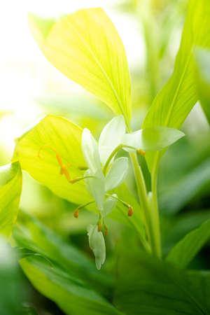 globba or white dragon flower (Globba winitii C.H. Wright) (Smithatris supraneanae W.J.Kress & K.Larsen) Stock Photo