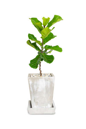 Potted Ficus Larata or Fiddle Leaf Fig Tree Isolated on White Background. Stock fotó
