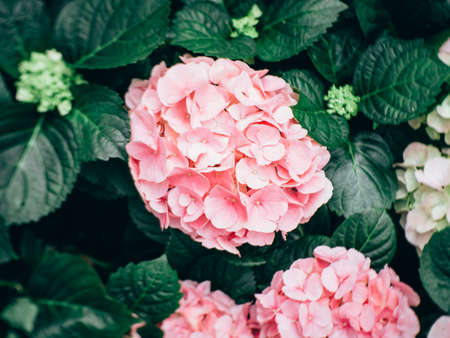 Hydrangea flower (Hydrangea macrophylla) in a garden Stock Photo