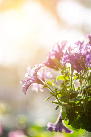 purple petunia flowers in the garden in Spring time Banco de Imagens