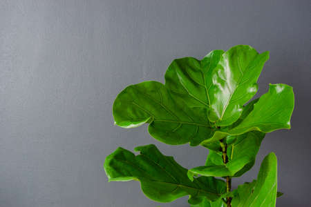 Fiddle leaf fig tree on a gray background. Banco de Imagens