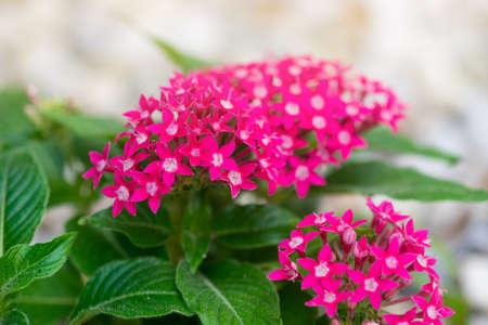 Pentas lanceolata or Egyptian star cluster flowers blooming in garden. Stock fotó