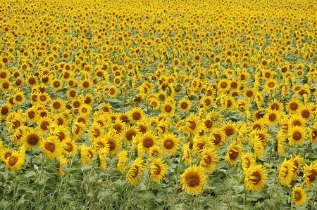 Open farm field of a summer sunflower crop