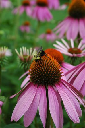 A honey bee sits upon a purple cone flower in a wild flower field