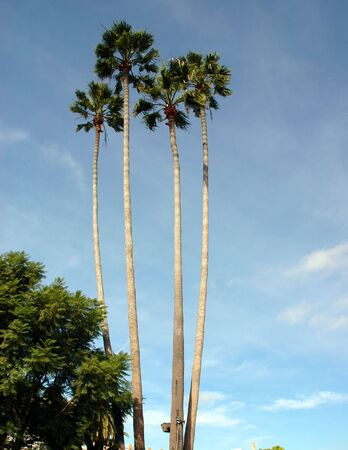 Four palm trees stand tall against a tropical blue sky Stock Photo