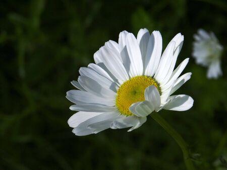 A close up of a summer daisy bloom in a wild flower garden