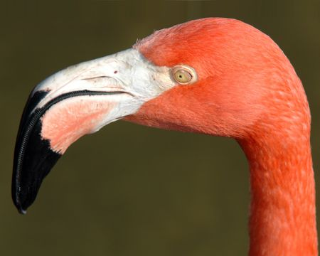 A close up of a florida pink flamingo