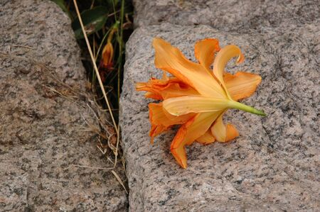 A fallen lily bloom rest on a slab of granite