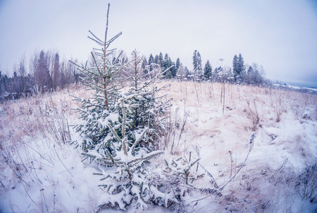 Small young green firs covered with snow and frost on a cold sunny day. fish eye distortion Stock Photo