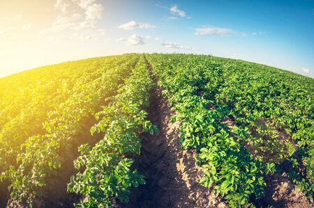 large green potato field, fisheye lens perspective distortion 版權商用圖片
