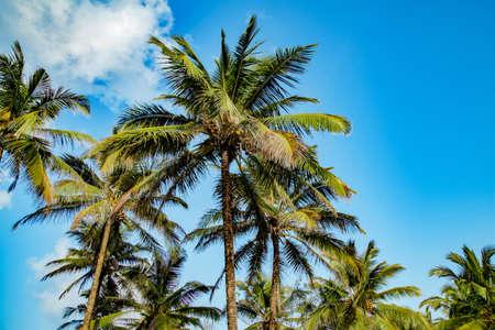 Coconut tree with blue sky at Goa, India. 스톡 콘텐츠