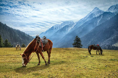 Horses grazin at Aru Valley Near Pahalgam, Kashmir, India