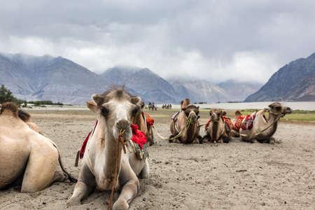 Camel safari at Hundar sand dunes in Nubra Valley, Leh, Ladakh