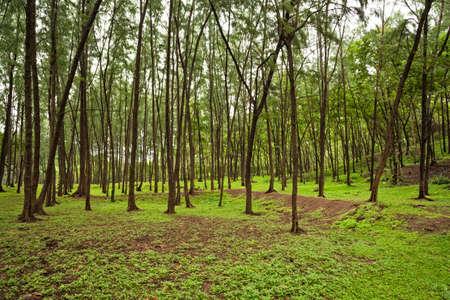 Green tree plantation near Kashid Beach, Konkan, Maharashtra, India