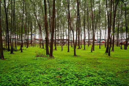 Kashid, Maharashtra, India - August 19, 2012 : Green tree plantation near Kashid Beach, Konkan.