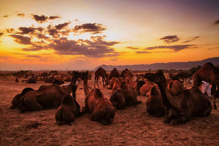 A panoramic view of camels all over the places in the evening at Pushkar camel fair. Farmers and traders from all over Rajasthan flock for the annual fair
