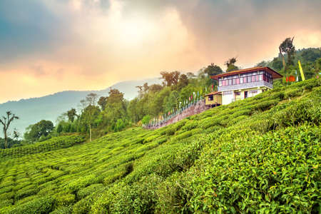 Temi tea garden of Ravangla, Sikkim, beautiful vast tea plantation on gradually sloping field with mountains and blue sky in the background, India.