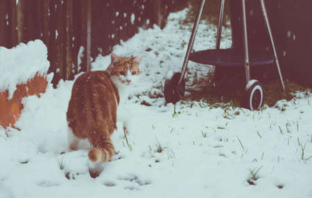 beautiful young ginger cat experiencing his first snow in the garden
