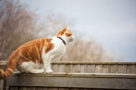 young ginger cat getting ready for a jump over the fence Stockfoto