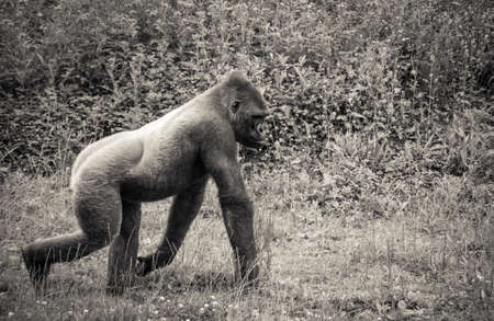photo of a gorilla posing nicely in a zoo, processed in black and white