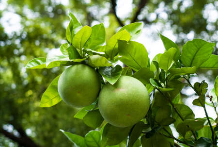 closeup of green pomelo fruits on a tree
