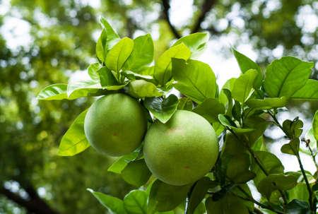 closeup of green pomelo fruits on a tree