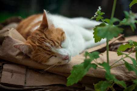 young ginger  cat sleeping on a pile of cardboard next to catnip