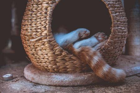 ginger tabby cat sleeping outside in a wicker pod Stock fotó