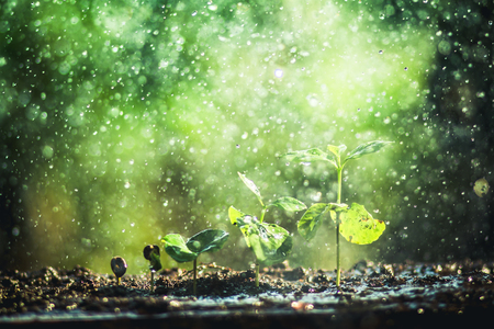 Growing Coffee Beans Watering and rain sapling Natural light and background