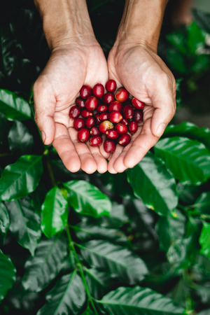 Raw coffee red bean in hand In nature Stock Photo