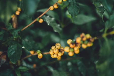 Yellow cherry coffee beans Arabica In nature