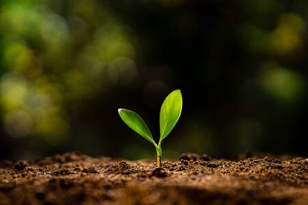 Planting trees - hands giving soil to trees, growing trees in a row and golden background Stock fotó
