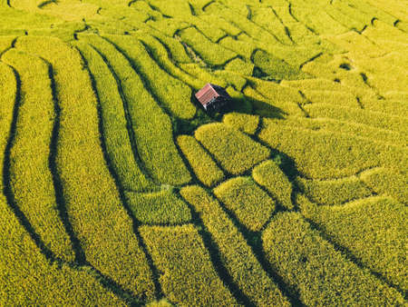 Natural rice fields in the countryside before harvest Golden evening light