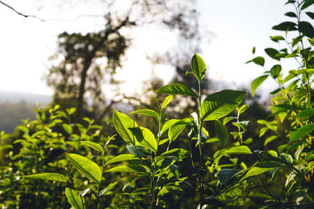 Assam tea leaves on the mountain in the evening