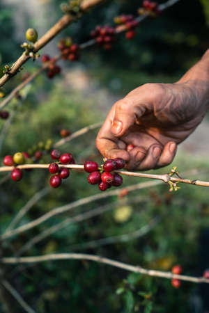 Coffee berry ripening on tree, Arabica coffee ripe red under the tree silhouette in the forest