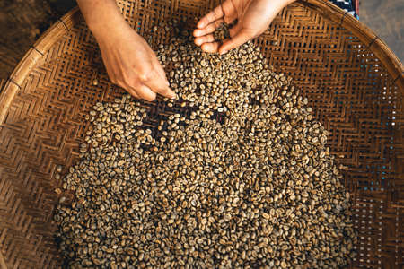 The hand is sorting the coffee beans before roasting them. Banque d'images