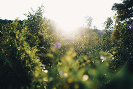 The meadow with the sun in the summer evening. Grass and flowers Banque d'images