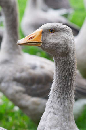 The goose is standing in the lawn Stock Photo - 16239766