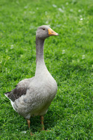 The grey goose is in the green lawn Stock Photo - 16239769