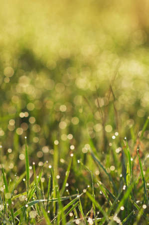 an autumn grass with dew photo