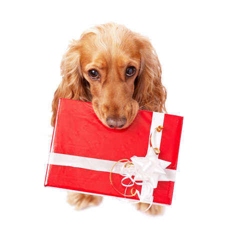 The dog with the beautiful red present Stock Photo