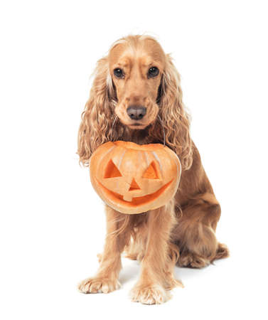 beautiful red-haired spaniel holds jack-o-lantern
