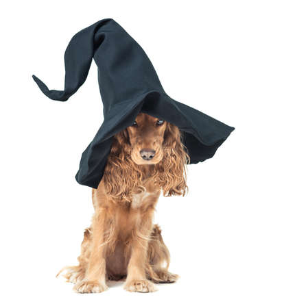cap hunting dog: red dog sitting in a witches hat and looks impressive Stock Photo