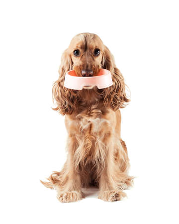 empty bowl: cute red dog asks to eat