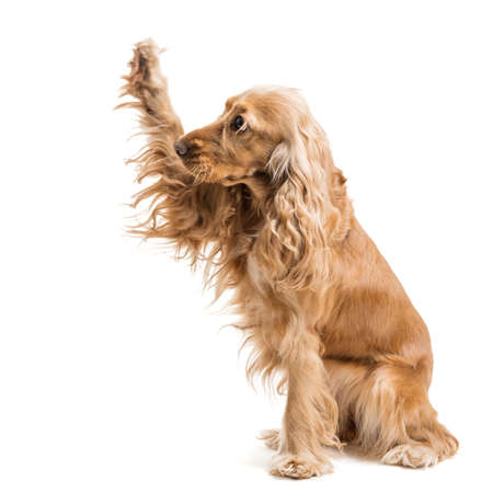 gives: red dog breed Spaniel gives paw, isolated