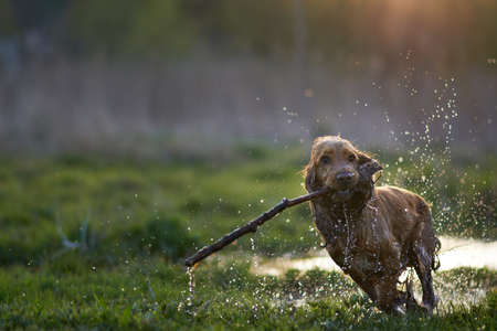 redhead Spaniel dog running with a stick in the grass and puddles