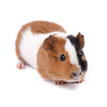 spotted guinea pig on a white background photo