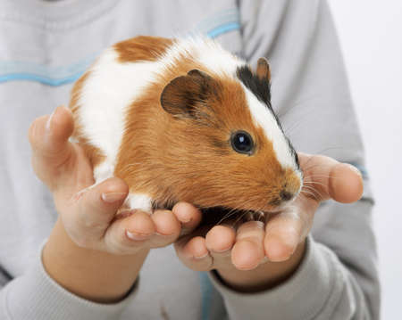 spotted guinea pig in the hands of a boy photo