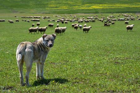 羊の大群を守る牧畜犬 写真素材